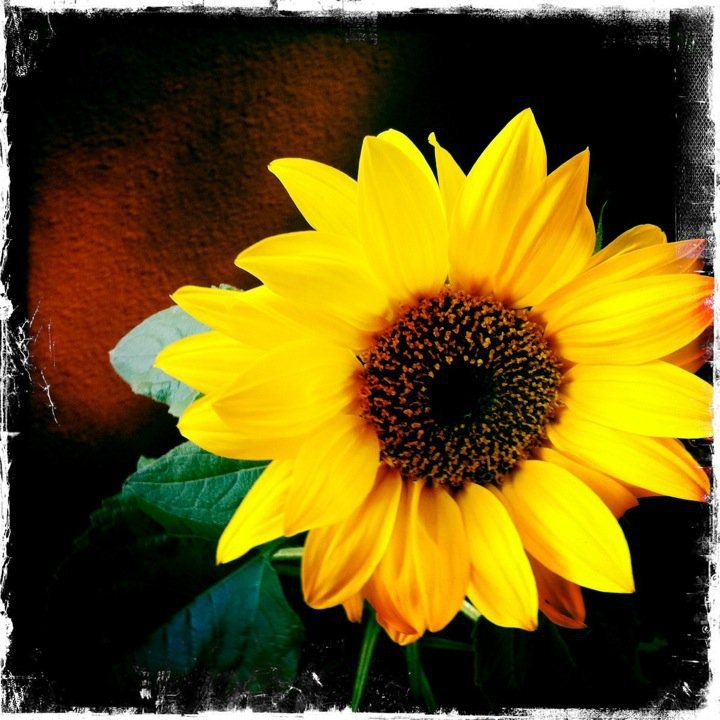 El girasol la flor que sigue al sol for Plantas ornamentales con flores