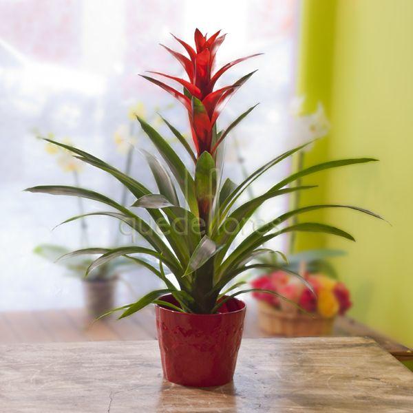 La guzmania una bonita planta ornamental for 20 plantas ornamentales