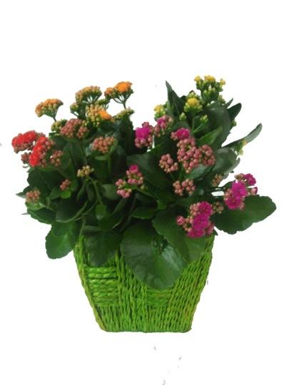 El kalanchoe una planta alegre y f cil de cuidar - Cuidado de plantas de interior ...