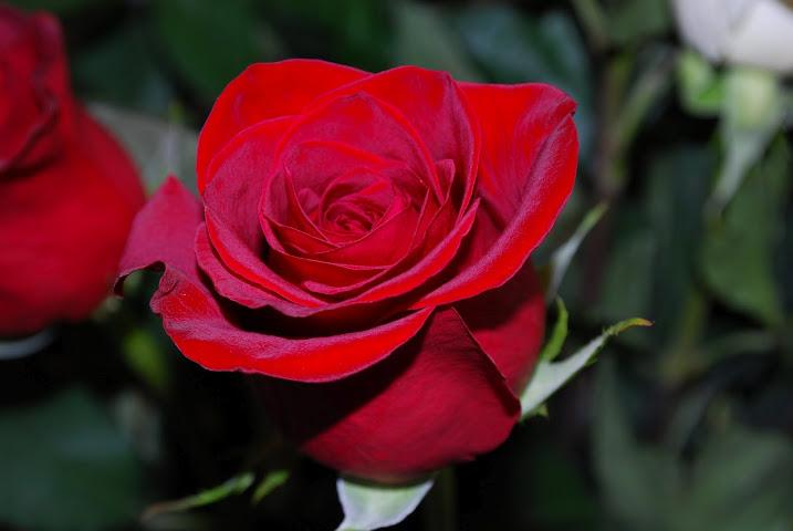 Es la flor más vendida del mundo