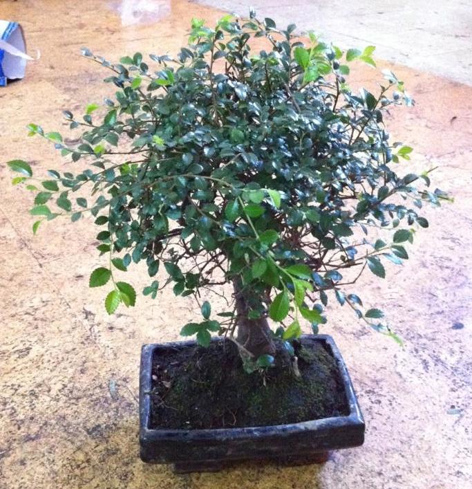 Los bons is y sus cuidados - Como cuidar un bonsai ...