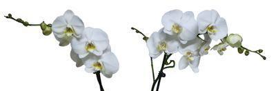 Orquídeas phalaenopsis blanca
