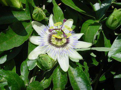 Fotografía de Eva Lopez, passiflora