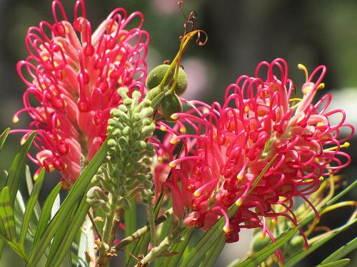 Grevillea Banksii Mauricio