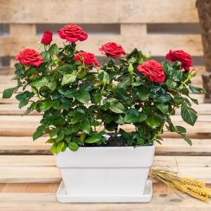 Rosales mini en jardinera