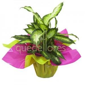 Diefenbachia adornada para regalo