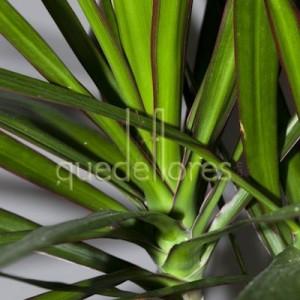 hojas-de-la planta-dracena