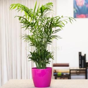 planta-palmera-interior