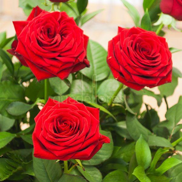 "Rosas Rojas variedad ""Red Naomi"""