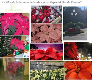 collage flor de pascua