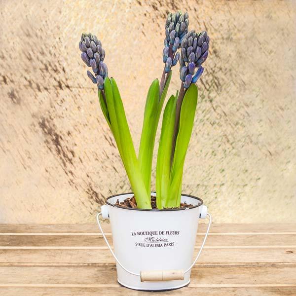 Bulbos de jacinto - Jacinto planta cuidados ...