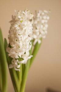 jacintos en flor