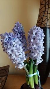 bulbos de jacinto