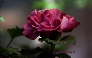 Hibisco Siriaco o Rosa de Siria
