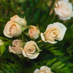 rosa ramificada