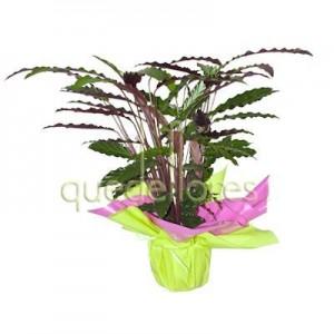 calathea-planta-de-interior