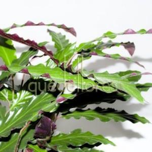 hojas-de-la-planta-calathea