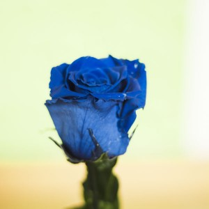 rosa-azul-liofilizada