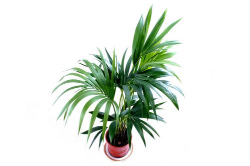 Plantas resistentes Chamaedorea