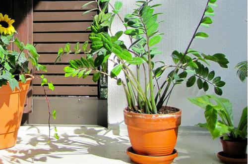 Zamioculca planta resistente