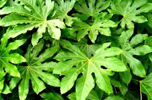 planta de aralia