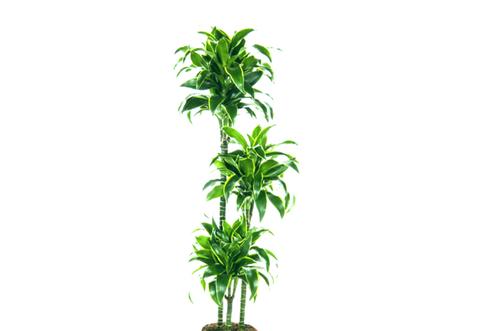 dracena planta resistente