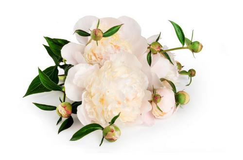 peonias para ramos de novia