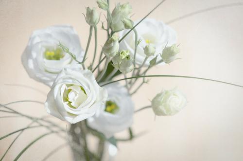 Lisianthus para ramos de novia