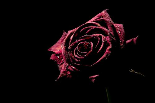 secar rosas en casa