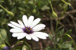 dimorfotecas para jardín