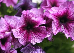 petunias para jardín