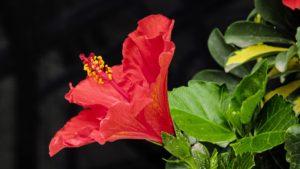 hibisco para jardín