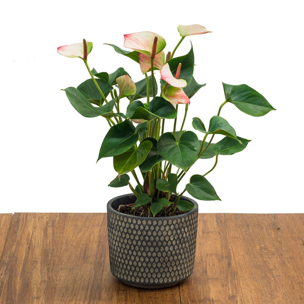 Anthurium salmon