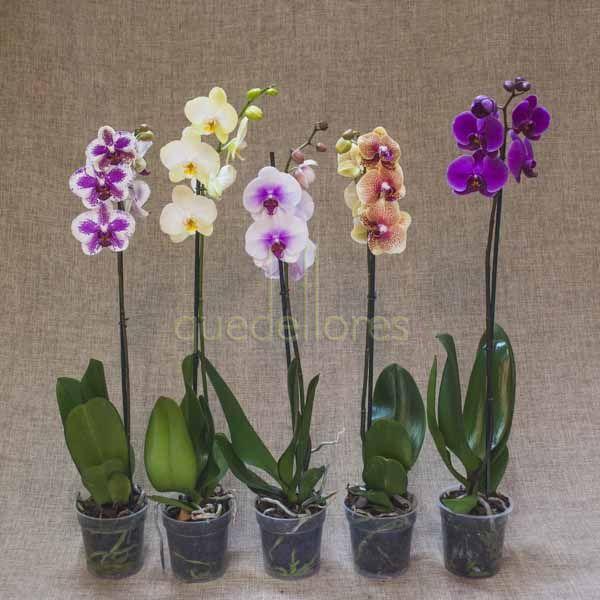 Orquídea de 1 tallo