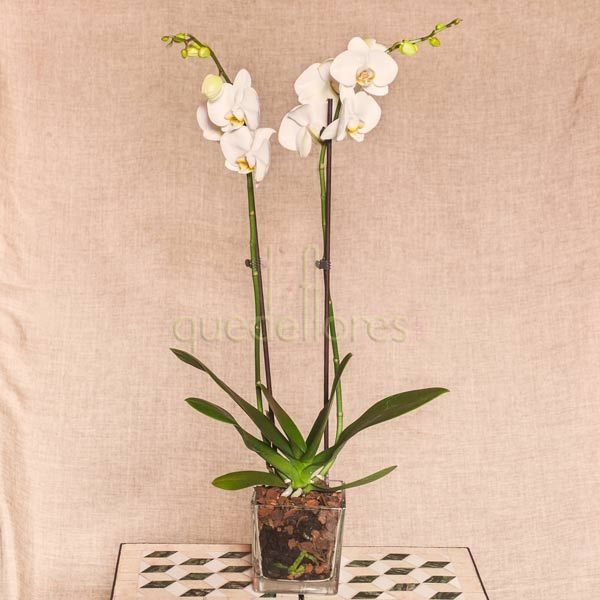 Orquídeas blancas en jarrón