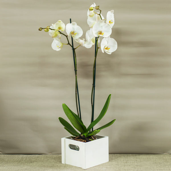 Orquídeas en cubito blanco