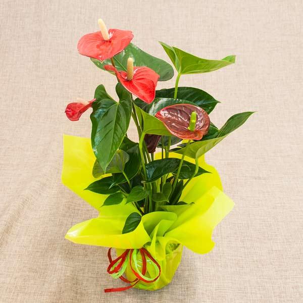 ¡Oferta! Planta Anthurium