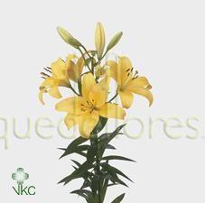 Lilium amarillo.