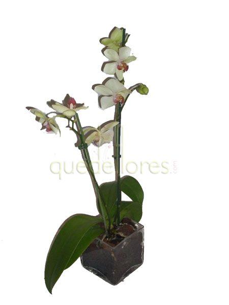 Orquídea Green Wind en cubito de cristal.