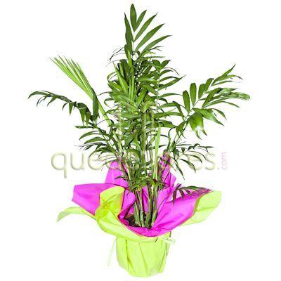 La chamaedorea elegans o palmera de interior - Tipos de palmeras de interior ...