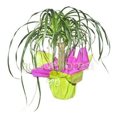 Envio de plantas a domicilio plantas de interior y - Planta pata de elefante ...