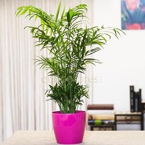 Plantas flores todo el a o - Planta interior palmera ...