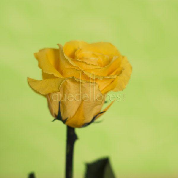 Violetero rosa amarilla liofilizada