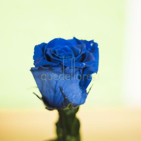 Rosa azul liofilizada.