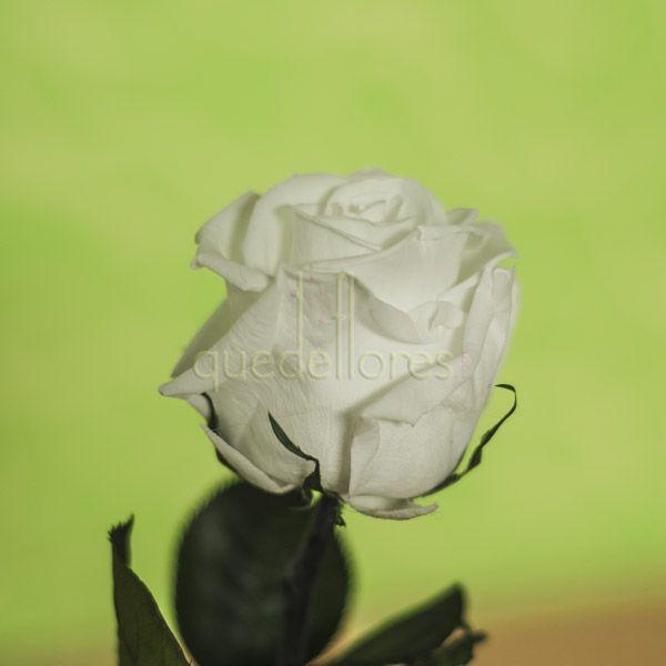 Rosa blanca liofilizada