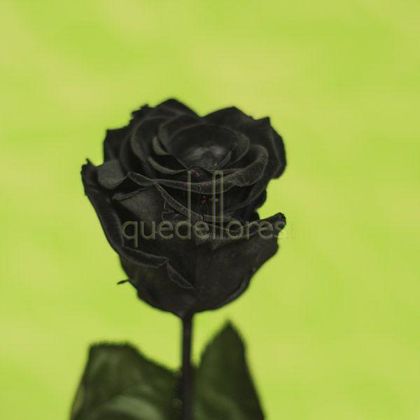 Rosa negra liofilizada.