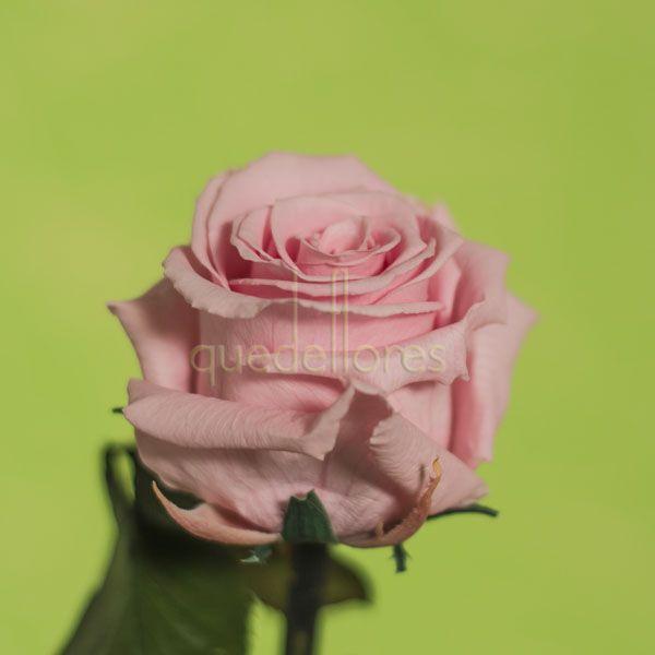 Rosa rosa liofilizada.