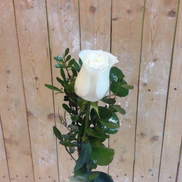 Rosa Blanca Día de la Mujer
